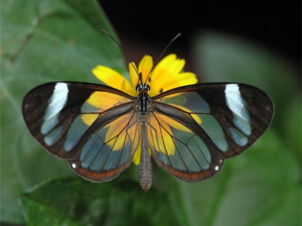 بالصور 10 من اغرب و اجمل الفراشات في العالم1.jpg